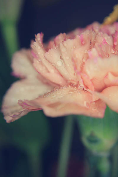 Carnation Photograph - Be Good To Me by Laurie Search