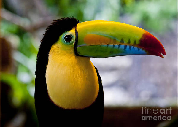 Keel-billed Toucan Photograph - Be Your Own Rainbow by F Innes - Finesse Fine Art