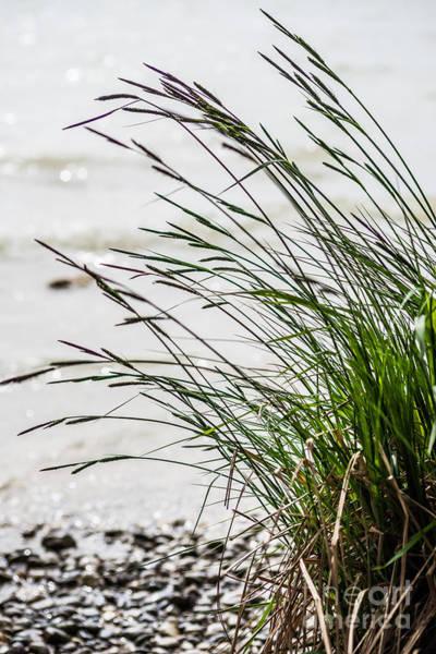 Photograph - Beach Grass by Hannes Cmarits