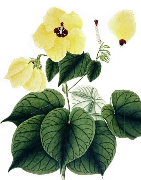 Beach Hibiscus (hibiscus Tiliaceus) Art Print
