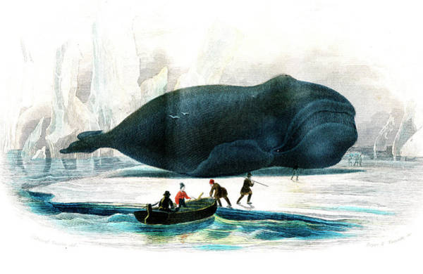 Wall Art - Photograph - Beached Bowhead Whale by Collection Abecasis/science Photo Library