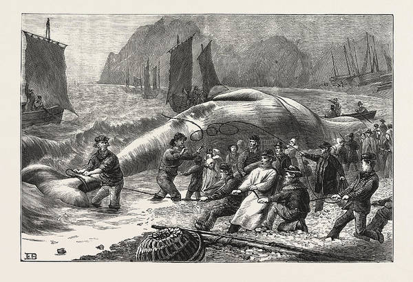 South Beach Drawing - Beaching A Whale At Beer, South Devon, Engraving 1876, Uk by English School