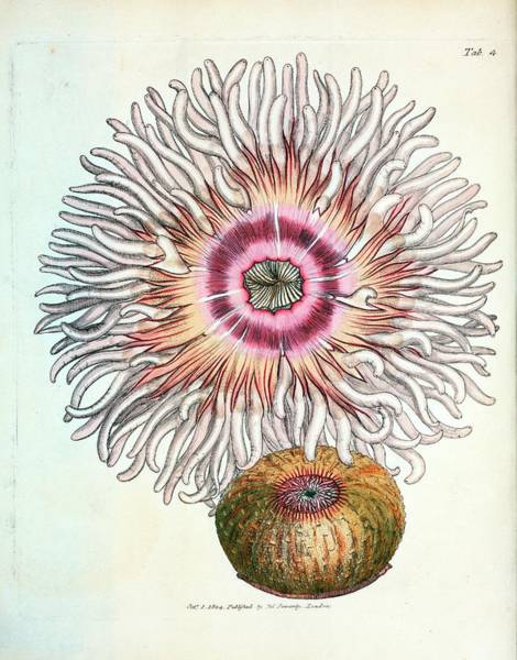 Cnidaria Photograph - Beadlet Anemone by General Research Division/new York Public Library
