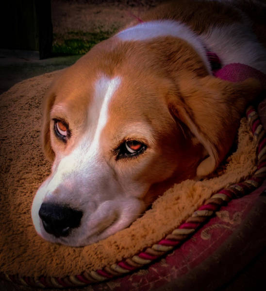 Dog Lover Photograph - Beagle Blues by Karen Wiles