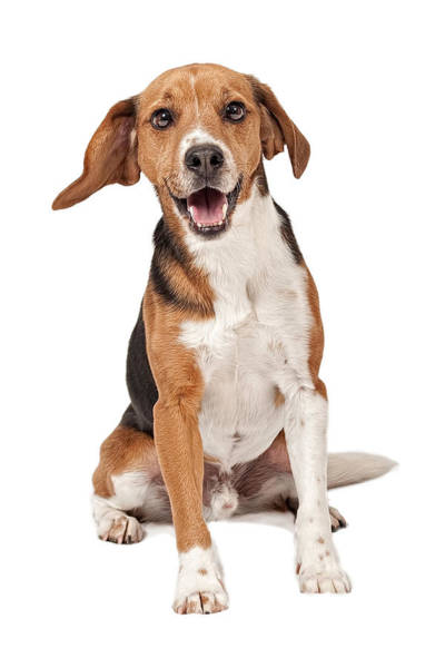 Pedigreed Photograph - Beagle Mix Dog Isolated On White by Susan Schmitz
