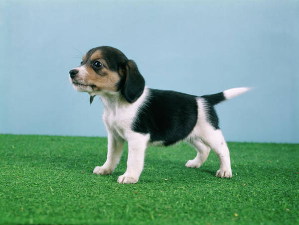 Wall Art - Photograph - Beagle Puppy Standing On Artificial by Animal Images