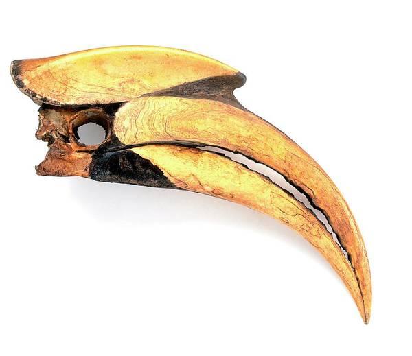 Hornbill Photograph - Beak Of Great Hornbill (buceros Bicornis) by Dorling Kindersley/uig