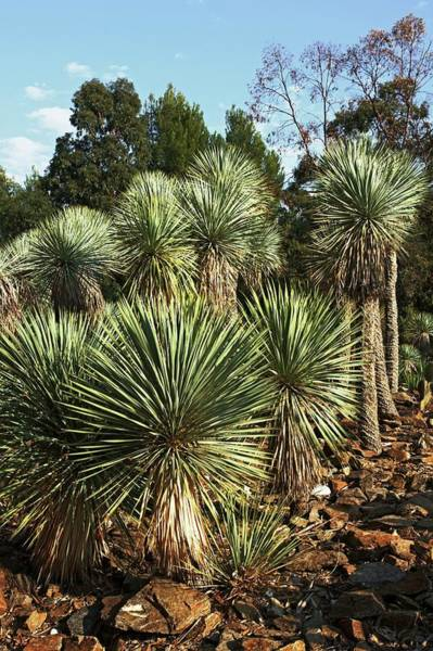 Yucca Palm Photograph - Beaked Yucca (yucca Rostrata) by Brian Gadsby/science Photo Library