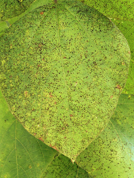 Rust Fungus Photograph - Bean Rust Fungus On A Leaf by Geoff Kidd/science Photo Library
