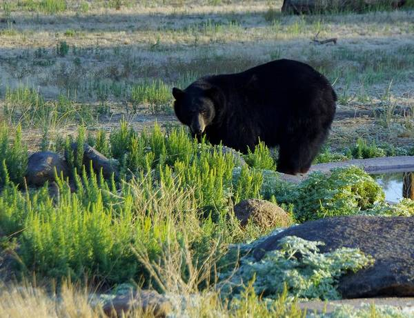 Photograph - Bear 3 by Phyllis Spoor