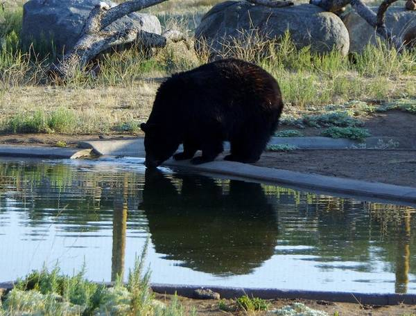 Photograph - Bear 4 by Phyllis Spoor