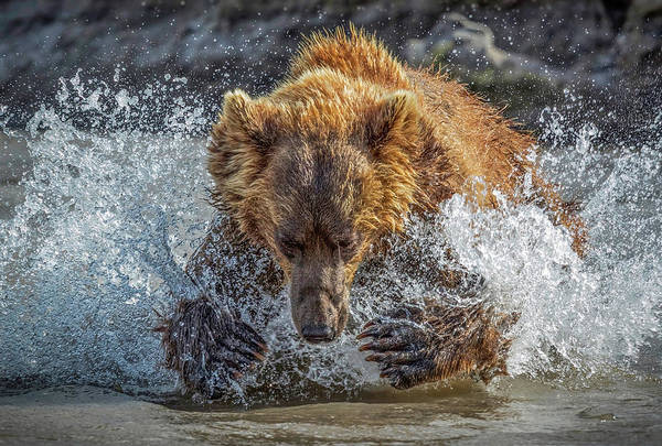 Wall Art - Photograph - Bear Action by Roshkumar