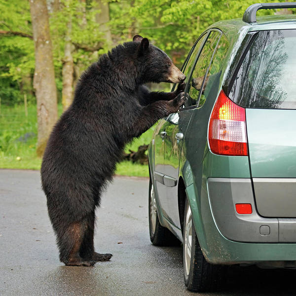 Bear Country Wall Art - Photograph - Bear And Car by Rusm