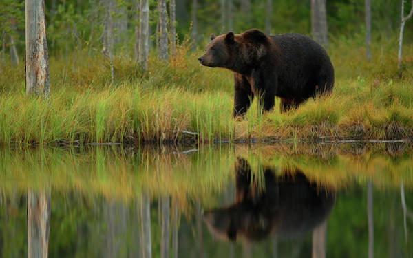 Strong Photograph - Bear And Fish *** by Assaf Gavra