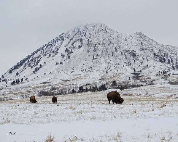 Photograph - Bear Butte Buffalo by Fiskr Larsen