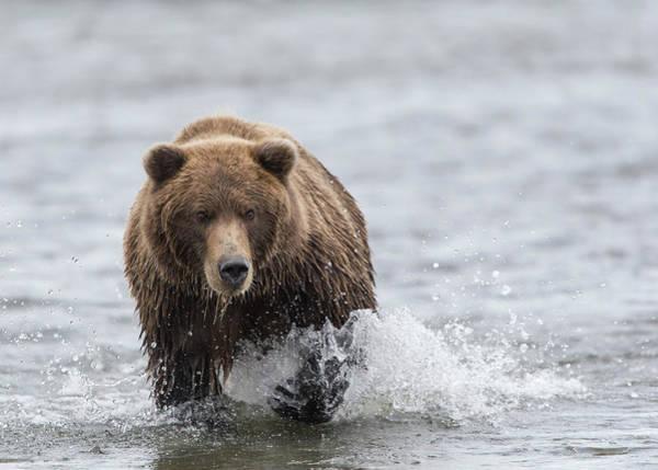 Born In The Usa Photograph - Bear Chasing Salmon In The Shallows by David & Shiela Glatz Www.glatznaturephoto.com