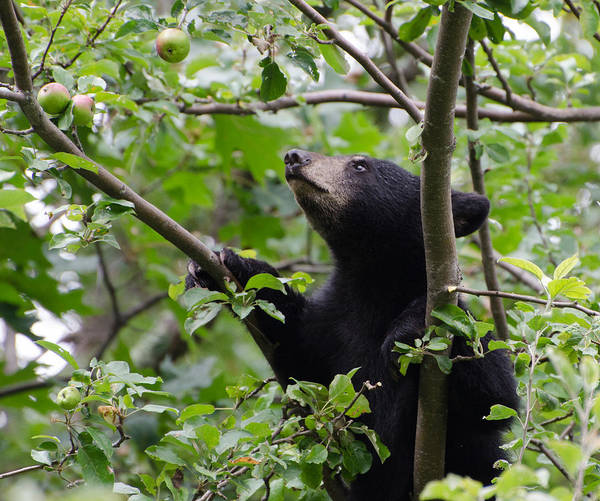 Brian Rock Wall Art - Photograph - Bear Cub And Apples by Brian Rock