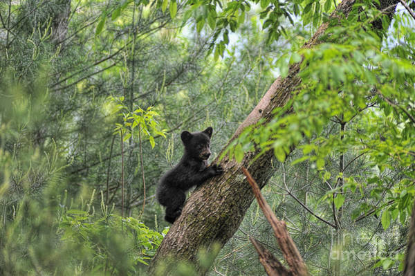Photograph - Bear Cub Climbing Tree Looking Out by Dan Friend