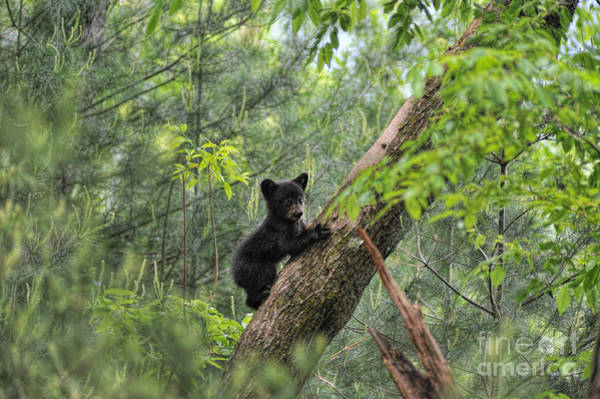 Photograph - Bear Cub Climbing Tree Pausing To Look by Dan Friend