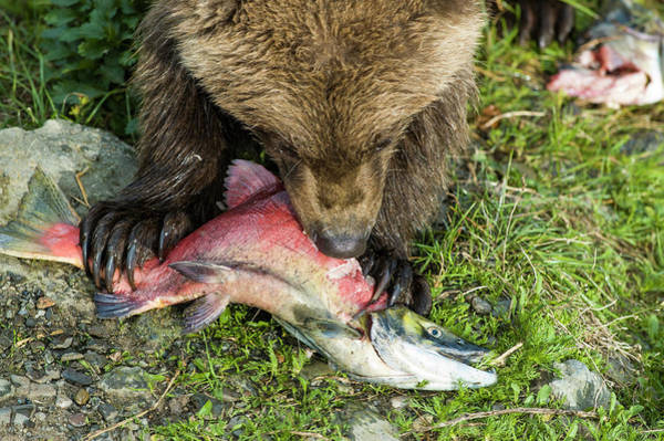 Grizzly Bears Photograph - Bear Cub Eating Salmon by Joe Klementovich