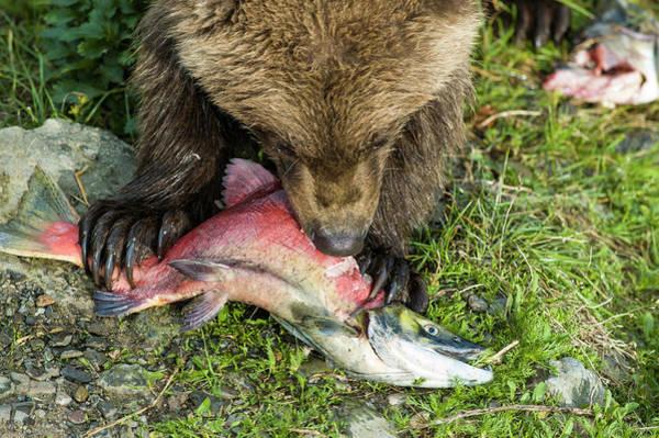 Grizzly Bear Photograph - Bear Cub Eating Salmon by Joe Klementovich