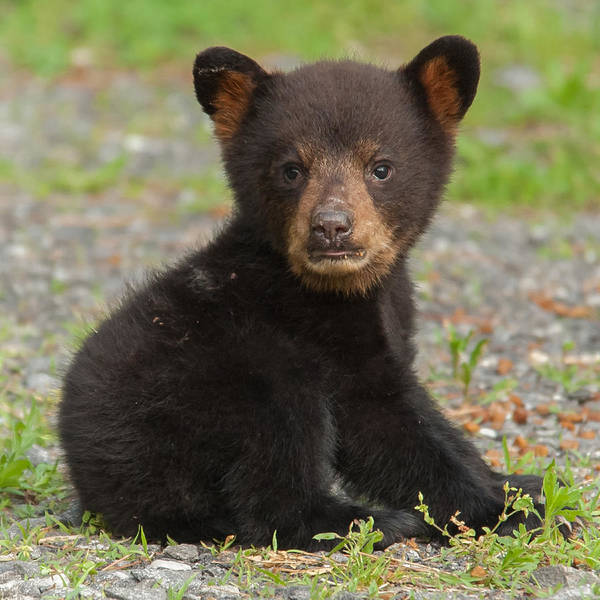 Photograph - Bear Cub by Joye Ardyn Durham