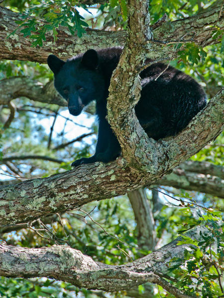 Photograph - Bear Cub Looking For Acorns by Brenda Jacobs