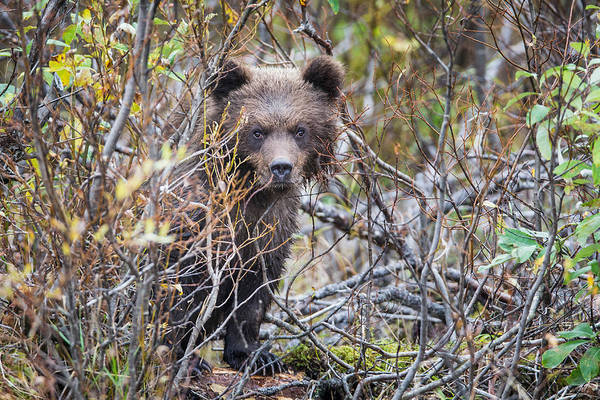 Wall Art - Photograph - Bear Cub by Rob Daugherty