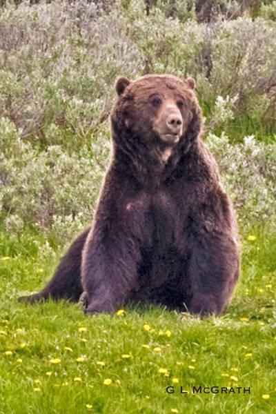 Photograph - Bear by G L McGrath
