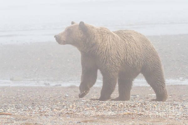 Photograph - Bear In Fog by Chris Scroggins