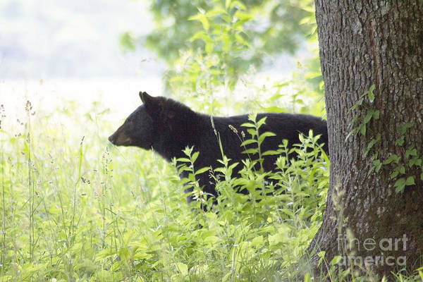 Photograph - Bear In The Meadow by Cynthia Mask