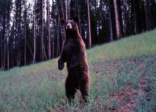 Photograph - Bear by John Mathews
