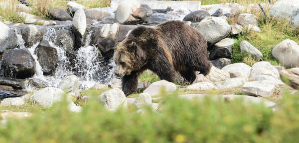 Born In The Usa Photograph - Bear On The Hunt by Alice Artime