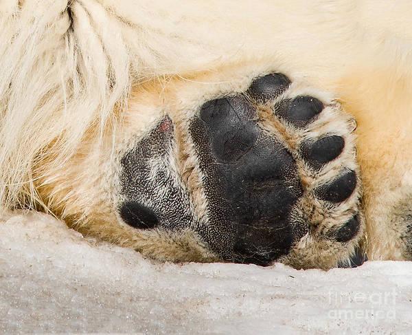 Photograph - Bear Paw by Les Palenik