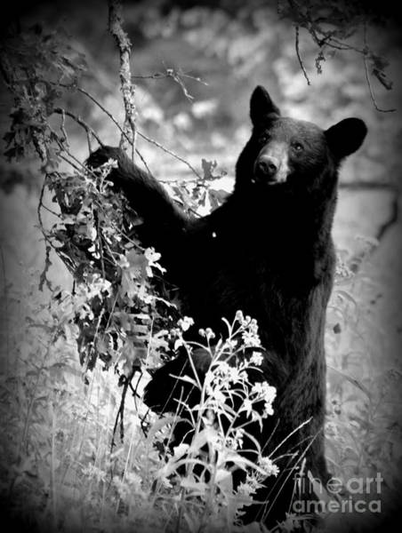 Photograph - Big Bear Cades Cove by Cynthia Mask