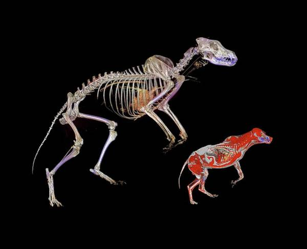 Specimen Photograph - Bear Skeleton And Wolf by Anders Persson, Cmiv