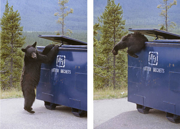 Photograph - Ma-257 And Ma-264-bear Stealing Garbage by Ed  Cooper Photography