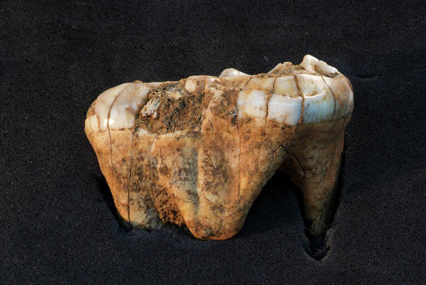 Ursidae Wall Art - Photograph - Bear Tooth Fossil by Marco Ansaloni / Science Photo Library