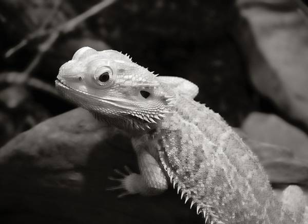 Central Australia Photograph - Bearded Dragon Lizard by Jim Hughes