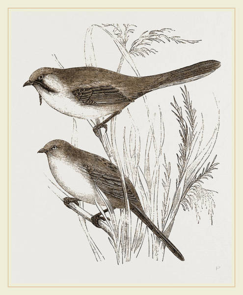 Titmouse Drawing - Bearded Titmice by Litz Collection