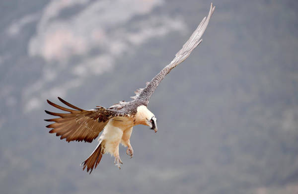 Scavengers Photograph - Bearded Vulture by Dr P. Marazzi