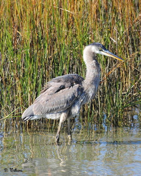 Photograph - Beaufort Blue Heron by Dan Williams