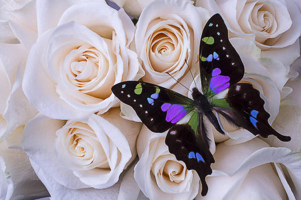 Beautiful Rose Photograph - Beautiful Black Winged Butterfly by Garry Gay