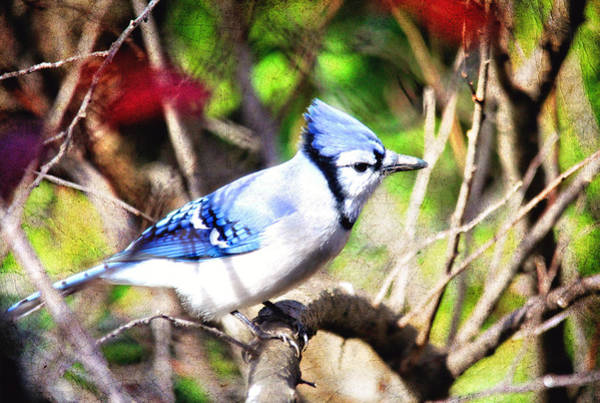 Photograph - Beautiful Blue Jay With Texture by Trina  Ansel