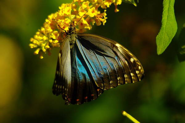 Living Things Photograph - Beautiful Blue Wings by Jeff Swan