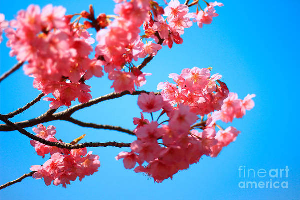 Photograph - Beautiful Bright Pink Cherry Blossoms Against Blue Sky In Spring by Beverly Claire Kaiya