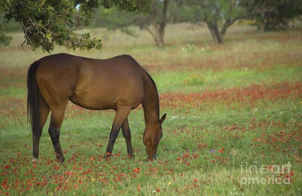Horse Country Photograph - Beautiful Brown American Quarterhorse In Field Of Red Firewheel  by Bridget Calip