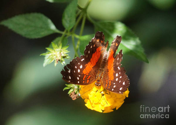 Coolie Photograph - Red Anartia Butterfly 2 by Rudi Prott