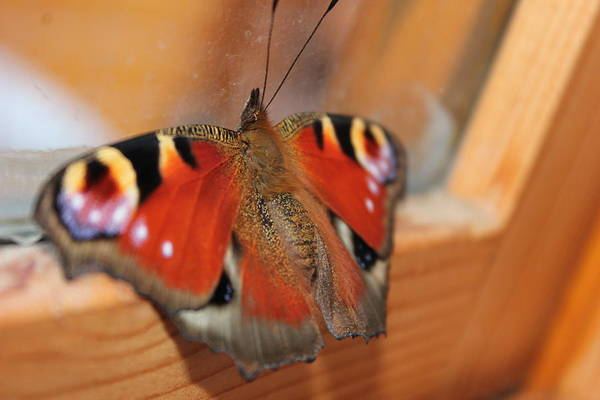 Photograph - Beautiful Butterfly by Perggals - Stacey Turner