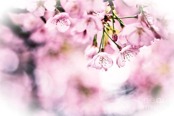 Photograph - Beautiful Cherry Blossoms In The Sunlight by Beverly Claire Kaiya